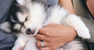 Haustiere schaffen es immer wieder und zaubern uns ein Lächeln ins Gesicht! ? kostbarer Pomsky - aikonya13