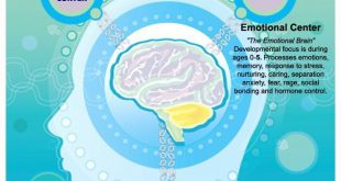 Triune Brain & Child Development.http://www.teach-through-love.com/child-brain-d...